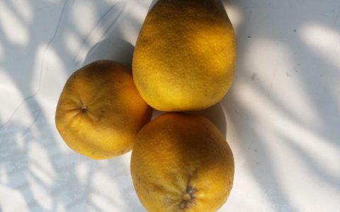 柠檬柑 酸甜可口的柠檬柑橘 丰富维C 吃上一口酸酸甜甜