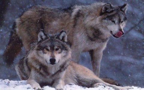 你知道狼的一生只钟情于一个伴侣吗?