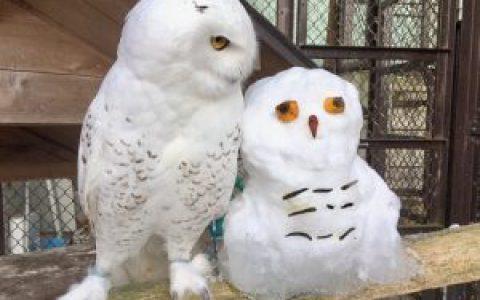 日本动物园堆了个雪猫头鹰,网友说:特别像,太厉害了!