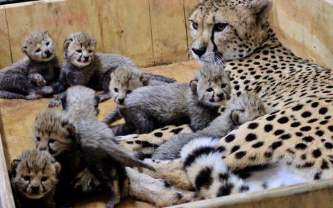 猎豹妈妈超辛苦一次生下8个小宝宝破记录!