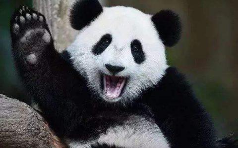 几大原因奠定了熊猫国宝的地位