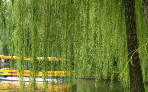 王定业原创诗歌散文:《柳树赞歌》