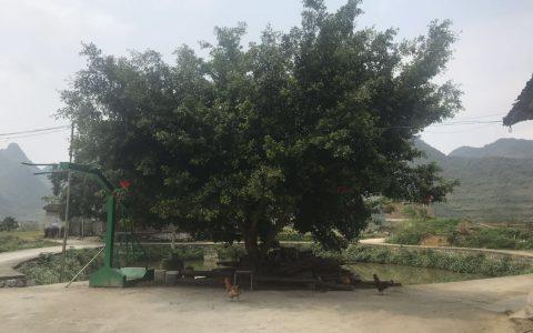 小时候听爷爷说,榕树生命里强,根系才是它厉害之处