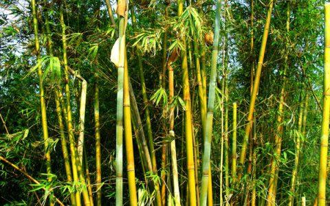 家乡的竹子,还是那样的生机盎然,意志坚强