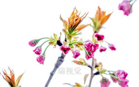 樱花的40种祖先33种原产中国:唐朝时带到日本,现在是日本的国花