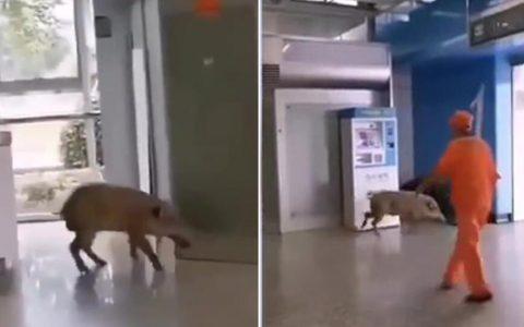 天气太热,一只体重达60公斤的野猪闯入南京地铁站乘凉