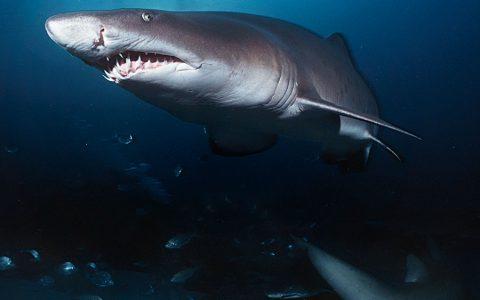 为什么鲨鱼会攻击人类?