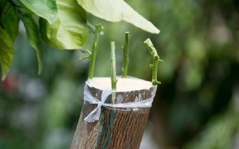 嫁接杏树选砧木 掌握这些技术要领 让新杏树成活高品质优