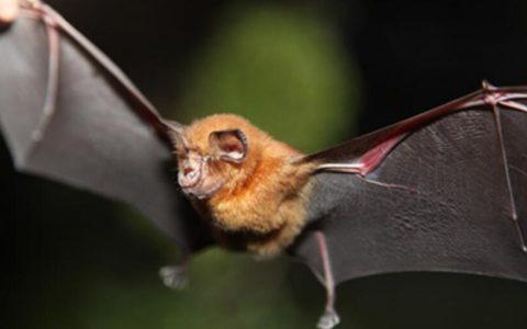 中美科学家推进病毒宿主研究中华菊头蝠或是真凶?