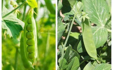 荷兰豆和豌豆是不是同一种蔬菜,两者到底有啥区别?学完涨知识了