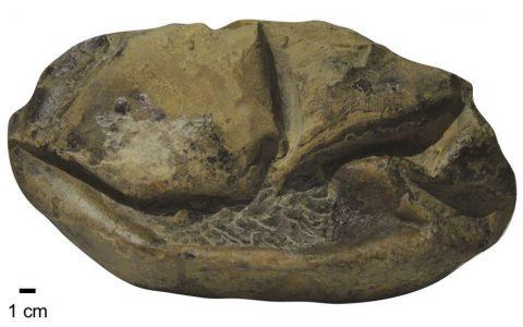 奇怪化石终于被确认,史上最大软壳蛋