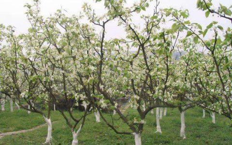 河南卫辉:雪白庄贡品苹果明年将出品