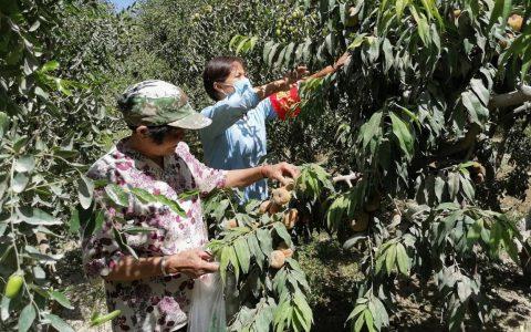 新疆若羌县:爱心助农奔小康