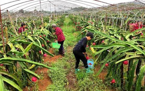 达州市渠县:龙果带来火红的日子