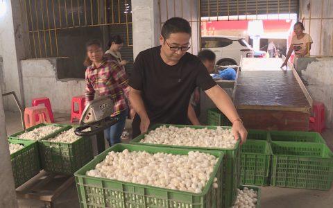 四川省叙州区:蚕茧产量创历史新高
