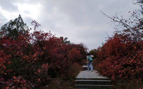 醉人红叶人不知!荥阳环翠峪纺织岭 山高草深林密叶红