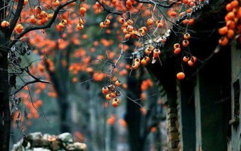 河南卫辉:山里的柿子为何没人采摘?