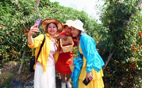 儋州那大镇石屋村:圣女果采摘激活乡村体验游